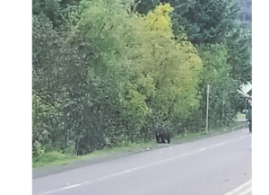Bear at Mendenhall